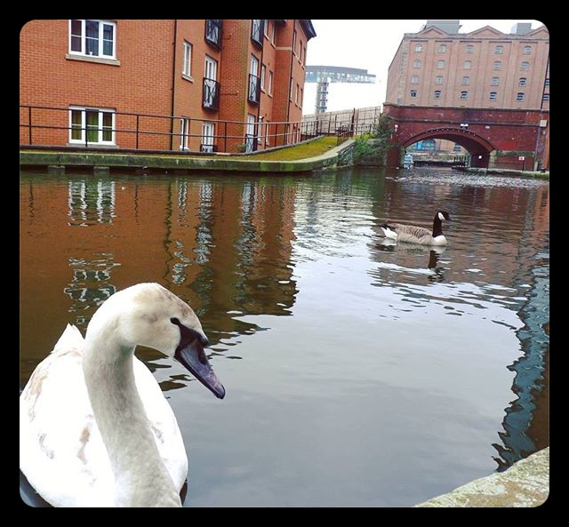 My amazing Manchester: swans on the canals