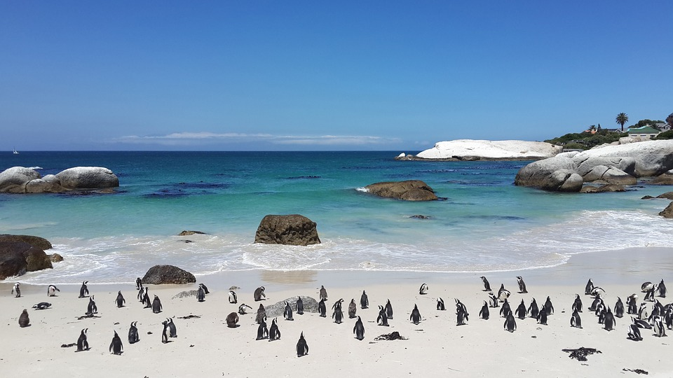 Penguins on the beach in Cape Town, SA