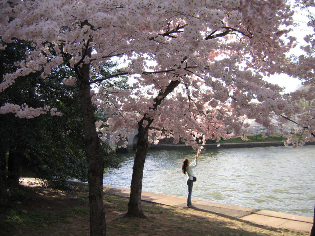 Things to do in the US while studying abroad - capture the Washington DC blossom.