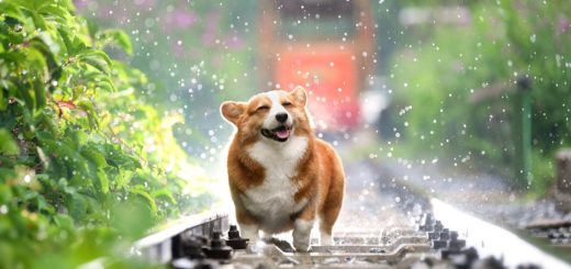 A corgi looking very happy in the raid